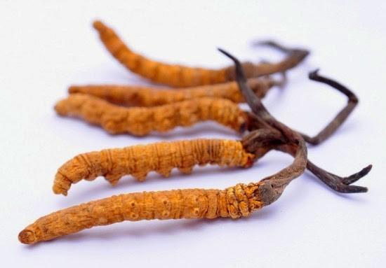 Đông trùng hạ thảo có tất cả 8 chân