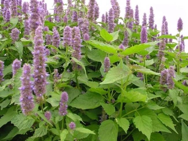 Hoắc hương có công dụng chữa bệnh rất hiệu quả