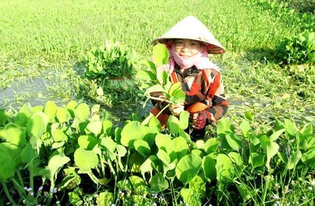 Hình ảnh người dân thu hoạch cây kèo nèo.