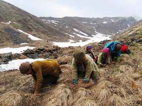 Nhiều người lên núi để tìm kiếm đông trùng hạ thảo