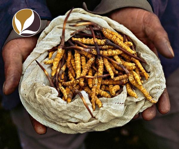 Cách chế biến đông trùng hạ thảo cho món ăn thêm hấp dẫn