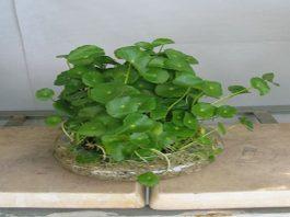 Các thực vật phong thủy trồng trong nước p1