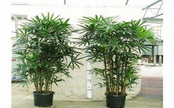 Các thực vật phong thủy trồng trong nước P2