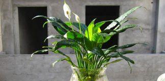 Các thực vật phong thủy trồng trong nước P3