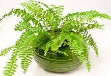 Các thực vật phong thủy trồng trong nước P4